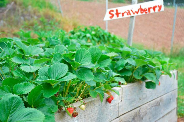 Community Garden Strawberries