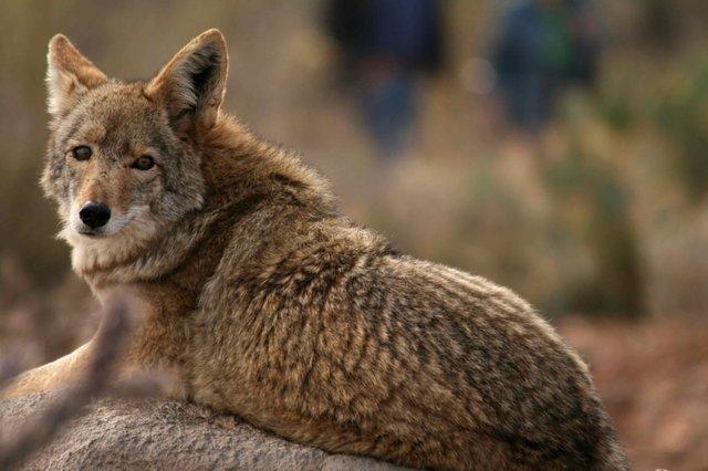 Coyotes 2014