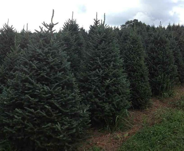1212 Christmas Trees Field
